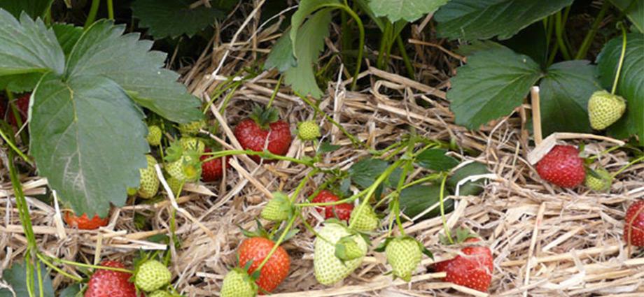 lifehacks-grandmas-best-garden-tips-strawberries