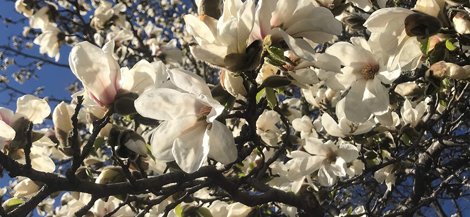 local-hidden-spots-in-oslo-magnolia-flowers